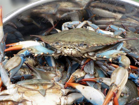 Bushels of Steamed Crabs at the River Shack in Charlestown, Maryland